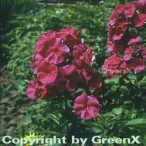 Hohe Flammenblume Düsterlohe - Phlox Paniculata