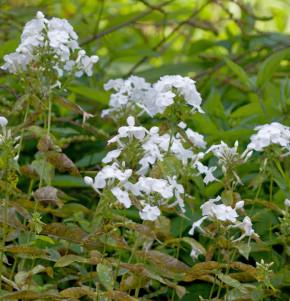 Hohe Flammenblume David - Phlox Paniculata