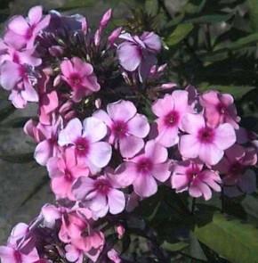 Hohe Flammenblume Fesselballon - Phlox Paniculata