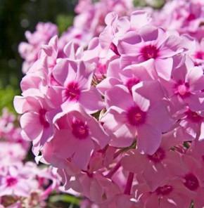 Hohe Flammenblume Frauenlob - Phlox paniculata