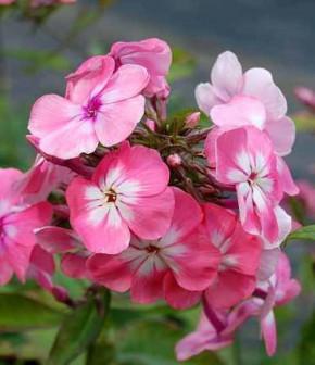 Hohe Flammenblume Bright Eyes - großer Topf - Phlox Paniculata