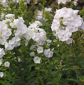 Hohe Flammenblume Nymphenburg - Phlox Paniculata