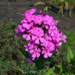 Großblättrige Flammenblume - Phlox amplifolia