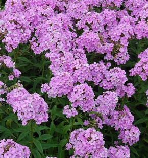 Hohe Flammenblume Hesperis - Phlox paniculata