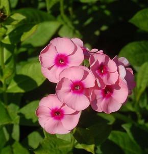 Hohe Flammenblume Jeffs Pink - Phlox paniculata