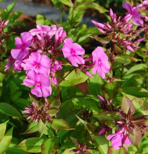 Große Garten-Flammenblume Pink Star - großer Topf - Phlox paniculata