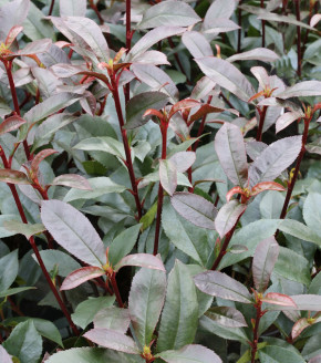 Glanzmispel Devils Dream® 125-150cm - Photinia fraseri