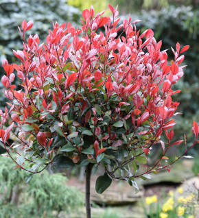 Hochstamm Glanzmispel Little Red Robin 80-100cm - Photinia fraseri