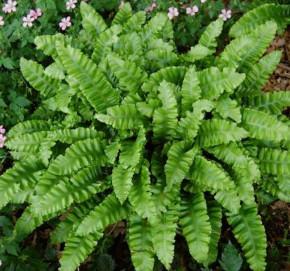 Hirschzungenfarn Crispa - Phyllitis scolopendrium