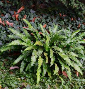 Hirschzungenfarn - großer Topf - Phyllitis scolopendrium