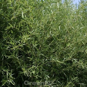 Bronzebambus 100-125cm - Phyllostachys humilis