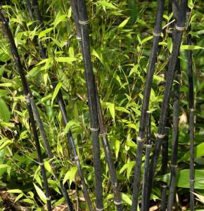 Schwarzrohrbambus 100-125cm - Phyllostachys nigra