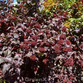 Blasenspiere All Black® 30-40cm - Physocarpus opulifolius