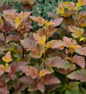 Blasenspiere Amber Jubilee® 40-60cm - Physocarpus opulifolius
