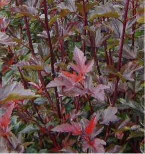 Blasenspiere Lady in Red 60-80cm - Physocarpus opulifolius