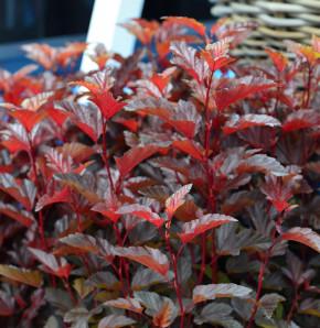 Blasenspiere Little Angel® 30-40cm - Physocarpus opulifolius