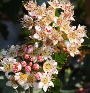 Blasenspiere Little Devil 40-60cm - Physocarpus opulifolius