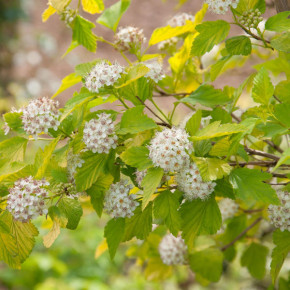 Blasenspiere Tiny Wine Gold® 40-60cm - Physocarpus opulifolius