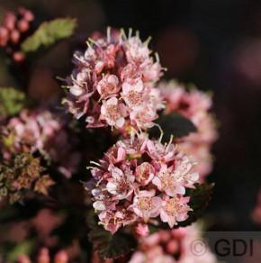 Blasenspiere Tiny Wine 30-40cm - Physocarpus opulifolius
