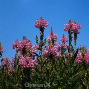 Gelenkblume Rosea - Physostegia virginiana