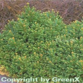Gnomfichte 15-20cm - Picea abies