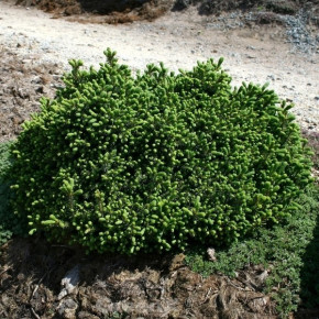 Blaue Igelfichte 50-60cm - Picea glauca