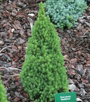 Zwerg Zuckerhutfichte 90-100cm - Picea glauca