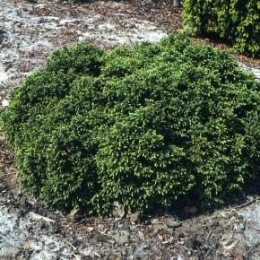Blaue Kissenfichte Nana 30-40cm - Picea mariana