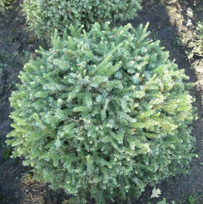 Zwerg Serbienfichte Little Boy 20-25cm - Picea omorika