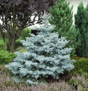 Ediths Blaufichte 30-40cm - Picea pungens