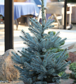 Blaue Stechfichte Fat Albert 50-60cm - Picea pungens
