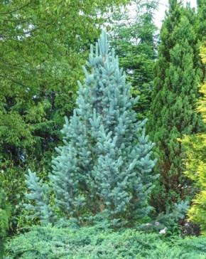 Blaue Säulenfichte Iseli Fastigata 30-40cm - Picea pungens