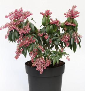 Schattenglöckchen Lavendelheide Dorothy Wyckoff 25-30cm - Pieris japonica