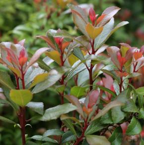 Schattenglöckchen Lavendelheide Little Heath Green 15-20cm - Pieris japonica