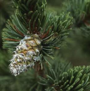 Grannen Kiefer 30-40cm - Pinus aristata