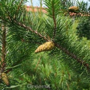 Banks Kiefer Velda 30-40cm - Pinus banksiana