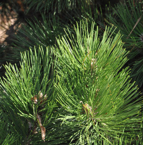 Bosnische Kiefer Kobold 40-50cm - Pinus leucodermis