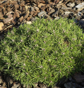 Berg Kiefer Paradekissen 25-30cm - Pinus mugo Winter Gold
