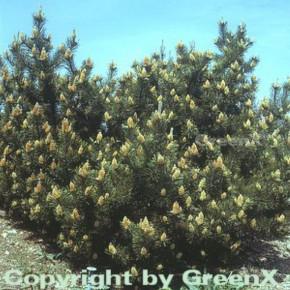 Bergkiefer Latschenkiefer 20-30cm - Pinus mugo