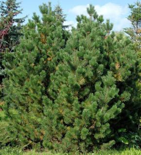 Bergkiefer Latschenkiefer 80-100cm - Pinus mugo