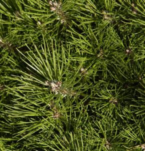 Hochstamm Schwarzkiefer Bambino 40-60cm - Pinus nigra