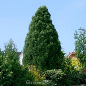 Pyramiden Schwarzkiefer 70-80cm - Pinus nigra