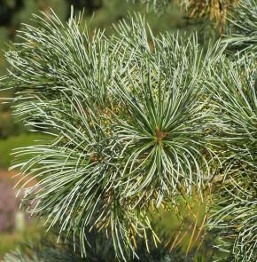 Mädchenkiefer Blauer Engel 30-40cm - Pinus parviflora