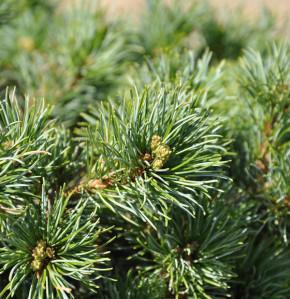 Hochstamm Japanische Zwergmädchenkiefer 60-80cm - Pinus parviflora