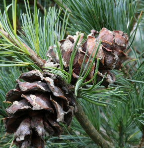 Bonsaiartige blaue Mädchenkiefer 25-30cm - Pinus parviflora