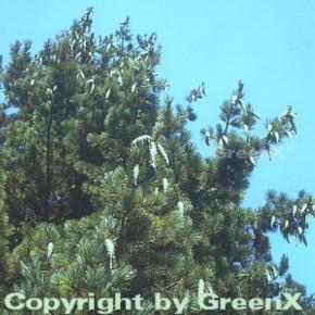 Mazedonischer Kiefer 125-150cm - Pinus peuce