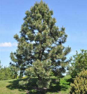 Gelb-Kiefer 60-80cm - Pinus ponderosa