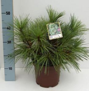 Schwerin Kiefer Wiethorst 40-50cm - Pinus schwerinii