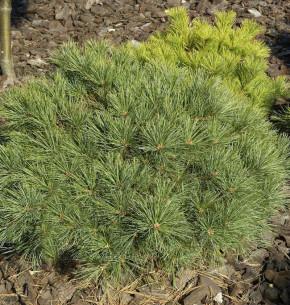 Zwerg-Weymouths-Kiefer Blue Shag 25-30cm - Pinus strobus