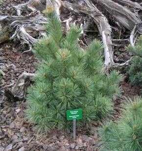 Die Zwergseidenkiefer Macopin 20-25cm - Pinus strobus